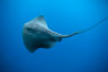 Pelagic stingray, open ocean. San Diego, California, USA. Image #04998