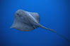 Pelagic stingray, open ocean. San Diego, California, USA. Image #04999