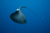 Pelagic stingray, open ocean. San Diego, California, USA. Image #05000