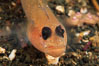 Blackeye goby. Catalina Island, California, USA. Image #05147