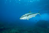 North Pacific Yellowtail. Guadalupe Island (Isla Guadalupe), Baja California, Mexico. Image #05188