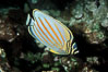 Ornate butterflyfish. Maui, Hawaii, USA. Image #05194