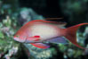 Jewel fairy basslet (male color form), also known as lyretail anthias. Egyptian Red Sea. Image #05200