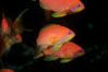 Jewel fairy basslet (female color form), also known as lyretail anthias. Egyptian Red Sea. Image #05226