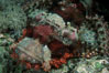Flathead scorpionfish. Egyptian Red Sea. Image #05235