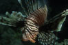 Lionfish. Egyptian Red Sea. Image #05237