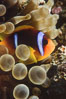 Two band anemonefish. Egyptian Red Sea. Image #05266