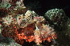 Flathead scorpionfish. Egyptian Red Sea. Image #05267