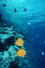 Masked butterflyfish. Egyptian Red Sea. Image #05269
