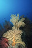 Parasitic zoanthid anemones (yellow) cover dead/dying brown gorgonian. Catalina Island, California, USA. Image #05342