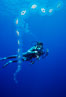 Salp chain and diver, open ocean. San Diego, California, USA. Image #05343