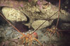Spiny lobster and several abalone. San Clemente Island, California, USA. Image #05375