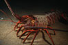 Spiny lobster. San Clemente Island, California, USA. Image #05376