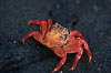 Sally Lightfoot crab. Galapagos Islands, Ecuador. Image #05587