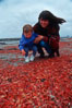 Pelagic red tuna crabs, washed ashore to form dense piles on the beach. Ocean Beach, California, USA