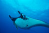 Pacific manta ray with remora. San Benedicto Island (Islas Revillagigedos), Baja California, Mexico. Image #06233