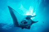 Pacific manta ray with remora. San Benedicto Island (Islas Revillagigedos), Baja California, Mexico. Image #06234