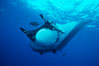 Pacific manta ray with remora. San Benedicto Island (Islas Revillagigedos), Baja California, Mexico. Image #06235