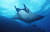 Pacific manta ray with remora, San Benedicto Island, Revilligigedos. Image #06242