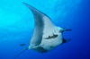 Pacific manta ray with remora. San Benedicto Island (Islas Revillagigedos), Baja California, Mexico. Image #06253