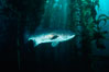 Giant black seabass in kelp forest. San Clemente Island, California, USA. Image #06264