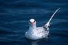 Red-billed tropic bird, open ocean. San Diego, California, USA. Image #06293