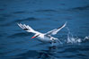 Red-billed tropic bird, taking flight over open ocean. San Diego, California, USA. Image #06295