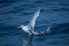 Red-billed tropic bird, taking flight over open ocean. San Diego, California, USA. Image #06296