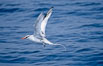 Red-billed tropic bird, taking flight over open ocean. San Diego, California, USA. Image #06298