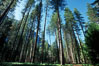Lodgepole pine trees, Yosemite Valley. Yosemite National Park, California, USA. Image #07045
