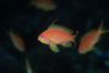Jewel fairy basslet (female color form), also known as lyretail anthias. Egyptian Red Sea. Image #07091