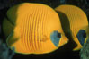 Masked butterflyfish. Egyptian Red Sea. Image #07097