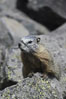 Yellow-bellied marmots can often be found on rocky slopes, perched atop boulders. Yellowstone National Park, Wyoming, USA. Image #07333