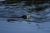 A beaver swims on Heron Pond. Grand Teton National Park, Wyoming, USA. Image #07337