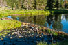 A beaver dam floods a sidewater of the Snake River, creating a pond near Schwabacher Landing. Grand Teton National Park, Wyoming, USA. Image #07342