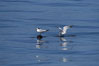 Elegant terns on a piece of elkhorn kelp.  Drifting patches or pieces of kelp provide valuable rest places for birds, especially those that are unable to land and take off from the ocean surface.  Open ocean near San Diego. California, USA. Image #07509
