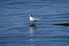 Elegant tern on a piece of elkhorn kelp.  Drifting patches or pieces of kelp provide valuable rest places for birds, especially those that are unable to land and take off from the ocean surface.  Open ocean near San Diego. California, USA. Image #07513
