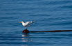 Elegant terns a on piece of elkhorn kelp.  Drifting patches or pieces of kelp provide valuable rest places for birds, especially those that are unable to land and take off from the ocean surface.  Open ocean near San Diego. California, USA. Image #07626