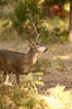 Mule deer, Yosemite Valley. Yosemite National Park, California, USA. Image #07633