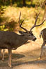 Mule deer, Yosemite Valley. Yosemite National Park, California, USA. Image #07634