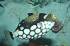 Clown triggerfish. Image #07842