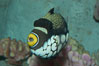 Clown triggerfish. Image #07843
