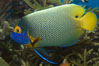Blue face angelfish. Image #07852