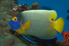 Blue face angelfish. Image #07854