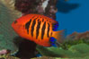 Flame angelfish. Image #07857