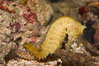 Barbours seahorse. Image #07902