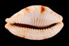 Stolid Cowrie. Image #08406