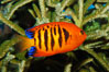 Flame angelfish. Image #08668