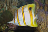 Copperband butterflyfish. Image #08808