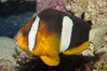 Barrier reef anemonefish. Image #08823